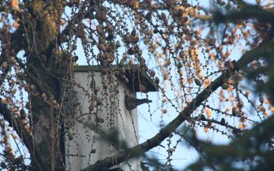 Szpak (Sturnus vulgaris), liczny dziuplak Krasnobrodzkiego Parku Krajobrazowego, fot. K. Kowalczuk (2)