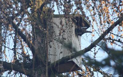 Szpak (Sturnus vulgaris), liczny dziuplak Krasnobrodzkiego Parku Krajobrazowego, fot. K. Kowalczuk (3)