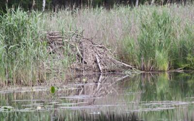 Żeremie bobrowe na jednym z oczek wodnych, fot. K. Kowalczuk  (1)