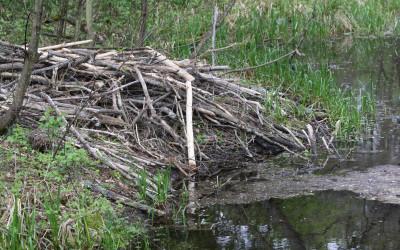 Żeremie bobrowe na jednym z oczek wodnych, fot. K. Kowalczuk  (2)