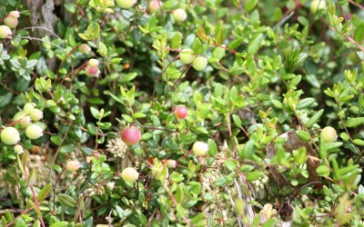 Żurawina błotna (Vaccinium oxycoccos L.), fot. K. Kowalczuk