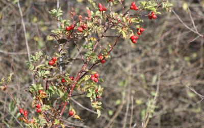 Dzika róża (Rosa canina L.), źródło witaminy C, fot. K. Kowlaczuk