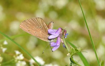 samiec modraszka nasitousa na wyce