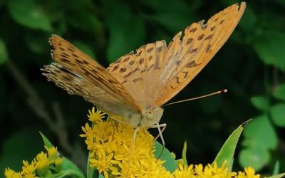 Nawłoć kanadyjska jest chętnie odwiedzana przez motyle - ZLPK OZ w Janowie Lubelskim