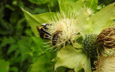 Na ostrożeniu warzywnym w towarzystwie pszczoły miodnej