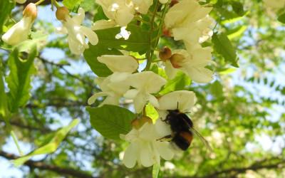 Na robinii akacjowej - również rośliny inwazyjne przyciągają zapyalaczy