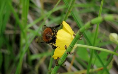 Pyłek jaskrów zawiera toksyczne substancje