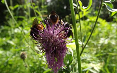 Samce trzmieli niedługo po wylęgu porzucają gniazdo i resztę życia spędzają na kwiatach