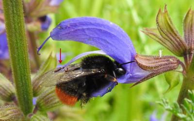 Tak szałwia łąkowa przykleja swój pyłek