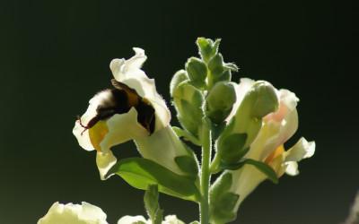 Trzmiel ziemny - tylko trzmiel potarfi dostać się do kwiatu lwiej paszczy