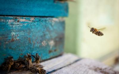 """2 miejsce Dorota Babkiewicz, """"Pszczoła lecąca do ula"""" (nagroda specjalna instagramowa)"""