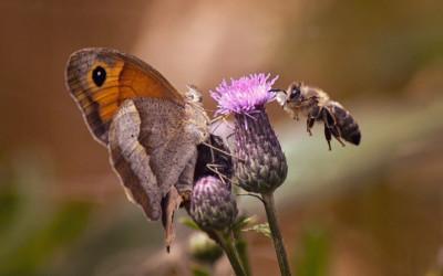 """2 miejsce Mariusz Kołtoński, """"Pszczoła zawisająca nad kwiatem w towarzystwie motyla"""" (LPP)"""