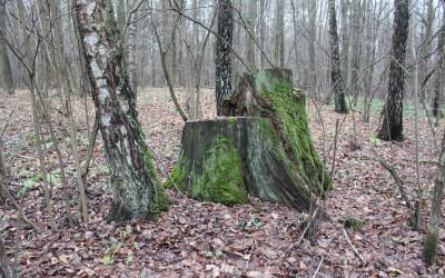 Fot.4. Taaakie tu rosły niegdyś drzewa