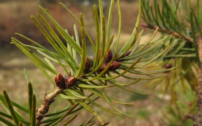 daglezja zielona Pseudotsuga menziesii