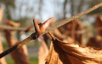 grab Carpinus betulus