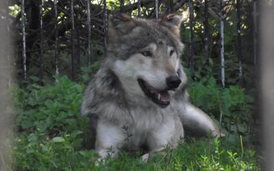 wilk Canis lupus fot. Ogród Zoologiczny w Zamościu