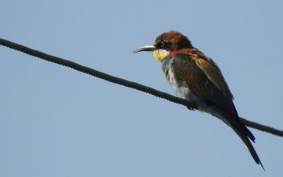 Najbarwniejszy ptak krajowy - żołna